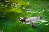 Banded Humboldt Penguin