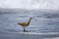 Long-billed Curlew on Ocean Beach