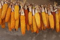 Ripe corn-cobs
