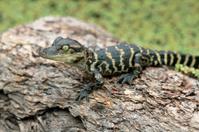 Baby American Alligator on Log