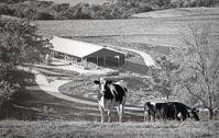 Cows In A Valley Farm