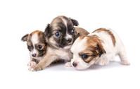 tiny three Chihuahua puppies