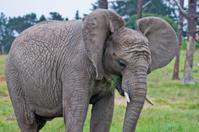 African elephant eating grass
