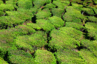 View down in tea plantation