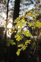 Highlighted Oak Leaves