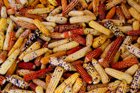 Corn cobs texture of different colors