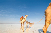 Camels in a salt caravans, Danakil Desert, Ethiopia
