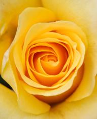 Soft Yellow Rose