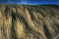 Windswept Marram Grass, Forvie, Scotland