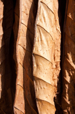 Tobacco drying leafs