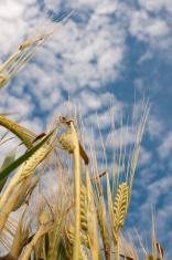 Macro of Barley.