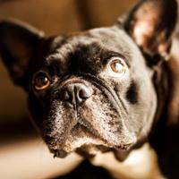 Bulldog Francés negro 01