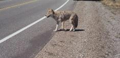 Coyote Crosing Road