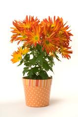Chrysanthemum Potted Plant, Autumn Orange Flowering Garden Bloom