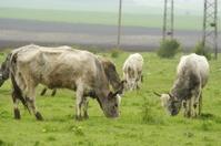 Bulgarian gray cattle