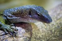 Curious lizard