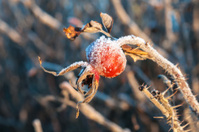 Frozen briar covered with ice