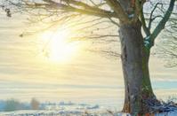 old oak in winter sun