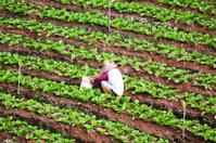 Farmer in salad field