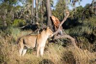 Lioness Scenic