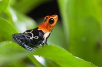 fantastic poison dart frog