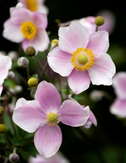 Japanese Anemone Flowers ( hupehensis ).