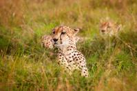 Cheetahs in African savanna