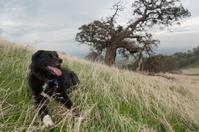 California Hill Dog