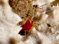 red striped cleaner shrimp - Lysmatella prima