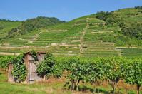 Vineyard in Wachau,Austria