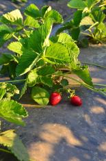 Pair of strawberries