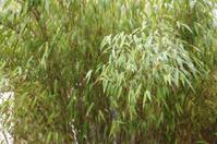 raindrops on bamboo background