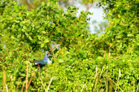 Tropical bird Eurasian Stone-curlew
