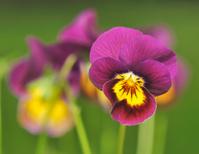 beautiful purple pansy