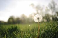 Dandelion Backlit by Summer Sun
