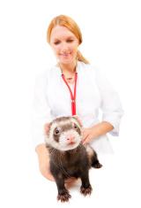 Young veterinarian examines a patient ferret