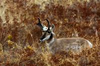 Pronghorn Buck bedded down