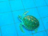 green turtle or Chelonia mydas