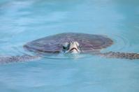 Marine Turtle swimming in Cayo Largo water