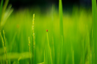 bug on rice stalk