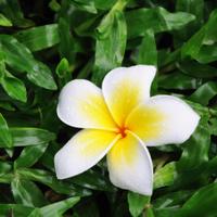 Frangipani flower on grass