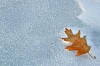 Lone Oak Leaf in Snow on a Frozen Minnesota Lake
