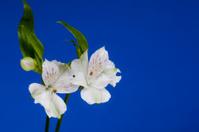 Alstroemeria Flowers on Blue Background