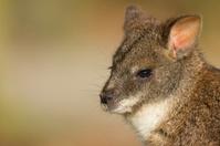 Wallaby close-up