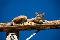 Bobcat on a Pole