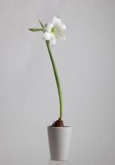 Flower Amaryllis