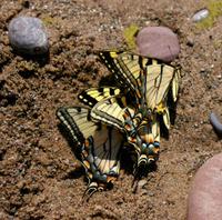 Butterfly Teamwork