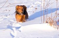 Running dachshund in winter