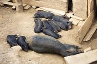 Black piglets sleeping
