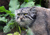 Pallas cat close up